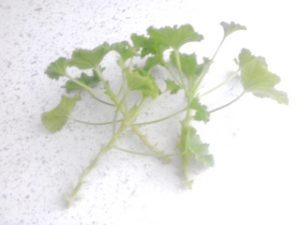 Выращивание герани