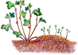Выращивание крыжовника