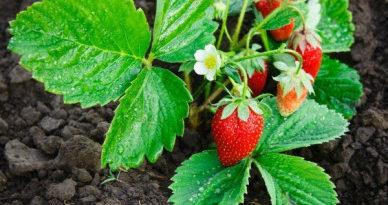 Уход за садовой земляникой в год посадки