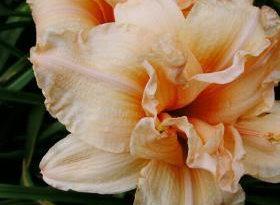 Лилейник. Выращивание цветка на садовом участке – Весна в саду
