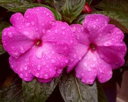 Бальзамин. Выращивание и уход в домашних условиях – Весна в саду
