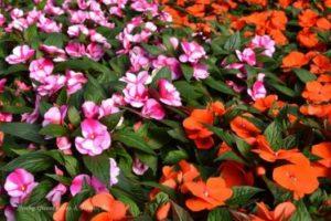 Цветы растущие в тени