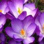 Многолетники для дачи – Весна в саду