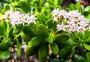 Применение денежного дерева в народной медицине – Весна в саду