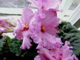 выращивание и уход в домашних условиях – Весна в саду
