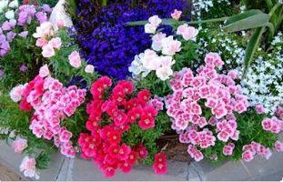 Годеция. Как вырастить рассаду в домашних условиях – Весна в саду