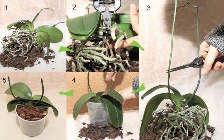 Орхидея фаленопсис: фото