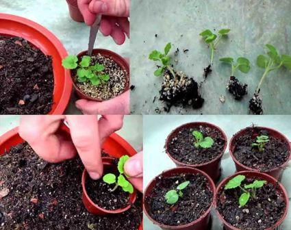 Герань из семян в домашних условиях