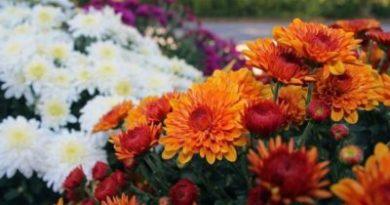 Хризантема садовая многолетняя – посадка и уход – Весна в саду