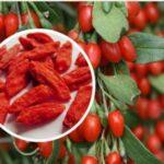 О пользе и вреде применения ягоды годжи