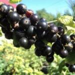 Обработка черной смородины