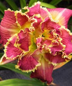 Выращивание лилейников
