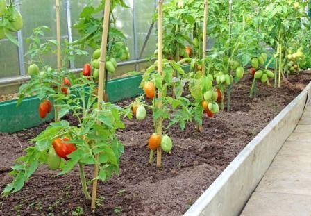 Как часто и сколько поливать помидоры в теплице