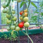 Правила ухода за помидорами в теплице