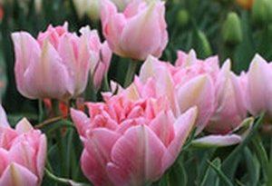 Весенняя забота о тюльпанах, советы по уходу
