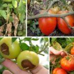 Распространенные болезни помидоров и методы их лечения