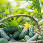 Правила подвязки огурцов в теплице и в грунте