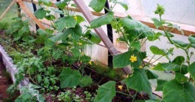 Посадка огурцов в теплице, начальный уход, выращивание