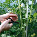 Правила пасынкования помидор в теплице и в грунте