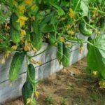 Как вырастить ранний урожай огурцов