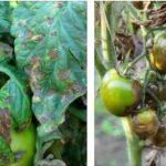 Эффективные средства от фитофторы на помидорах