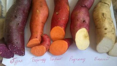 Посадка и выращивание батата – сладкого картофеля
