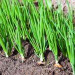Как вырастить крепкий и здоровый лук