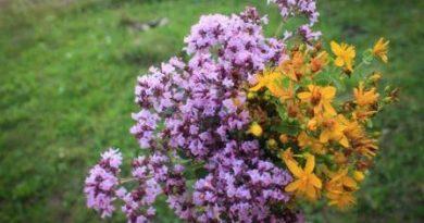 Выращивание лекарственных растений на участке