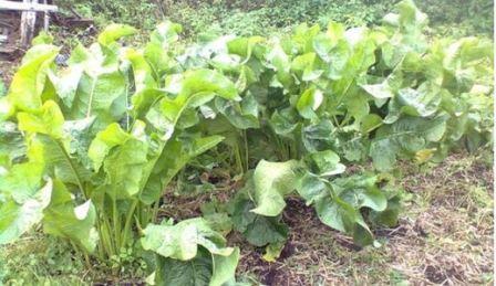 В огороде растёт хрен, как от него избавиться