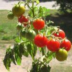 Дачные хитрости выращивания помидоров