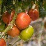 Когда и как правильно собирать и хранить помидоры
