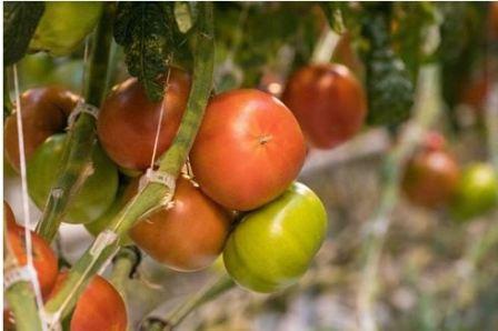Секреты успешного выращивания помидор