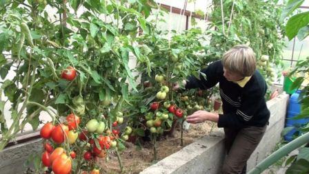 Уход за помидорами, как и чем правильно удобрять