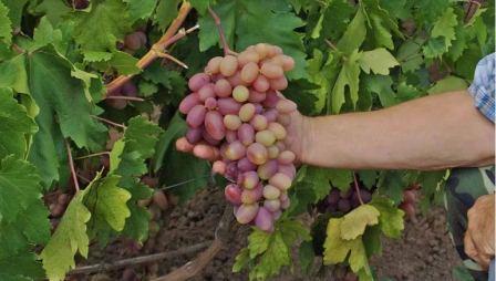 Уход за виноградом в теплое время года